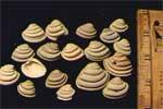 Imperial Venus Clam