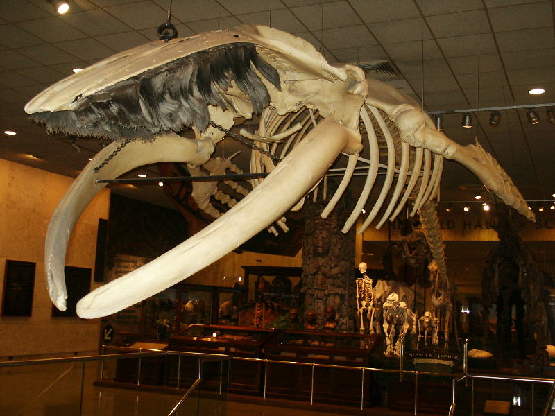 Humpback Whale Pic 3Humpback Whale Skeleton Diagram