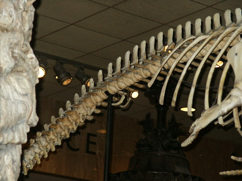 Cetacean Evolution Whale Anatomy And Photos Of Limb Rudiments On