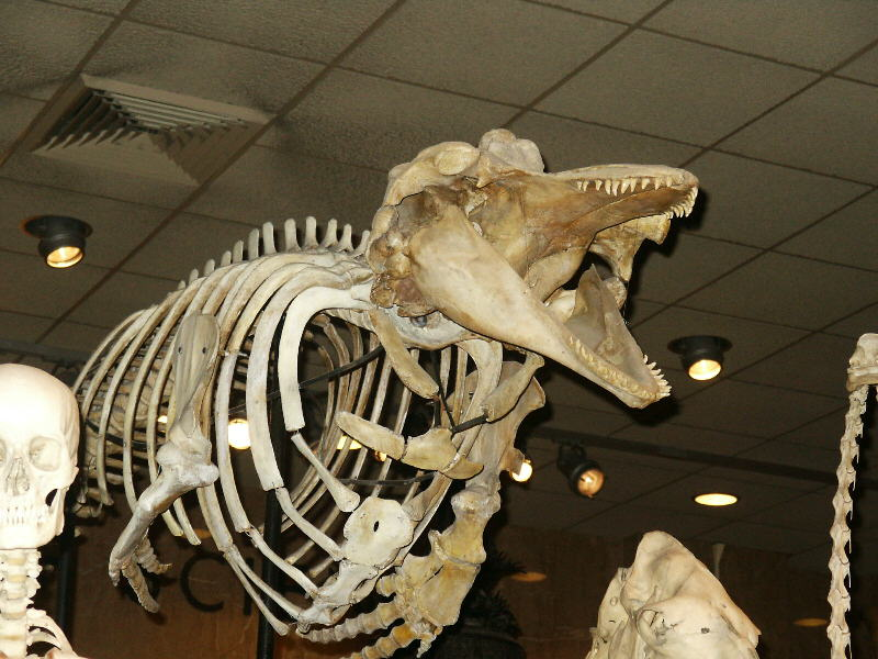 Cetacean Evolution: Whale Anatomy and Photos of Limb Rudiments on ...