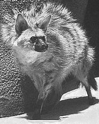 Aardwolf raising mane