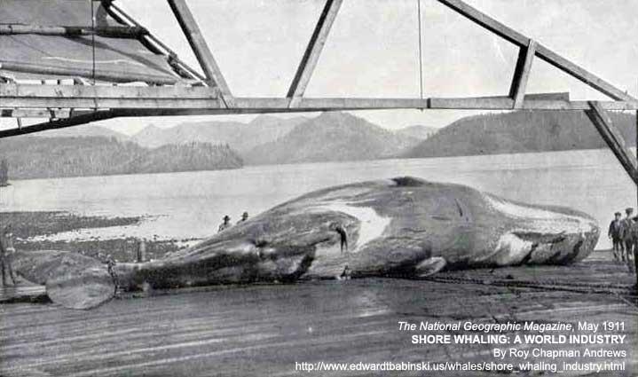 Bull Sperm Whale