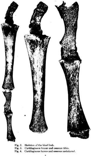 Hind Limb Rudiments Found on Modern Day Whales - Figure 4
