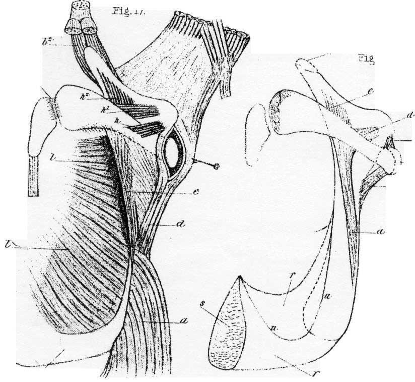 Vestigial Limbs on Whales