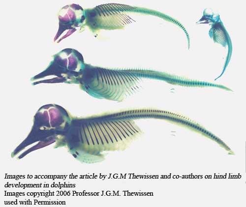 dolphin hind limb buds